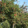 Caractéristiques, entretien et variétés de pommiers